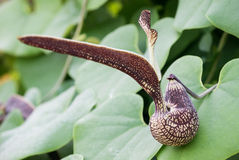 Aristolochia ringens Vahl Στοκ Εικόνες