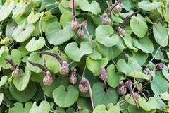 Aristolochia ringens Vahl Στοκ φωτογραφία με δικαίωμα ελεύθερης χρήσης