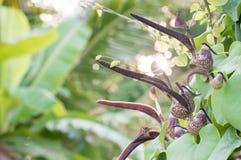 Aristolochia ringens Vahl Στοκ Φωτογραφία