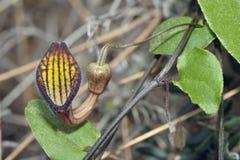 Aristolochia sempervirens Στοκ Φωτογραφίες