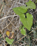 Aristolochia sempervirens Στοκ Εικόνες