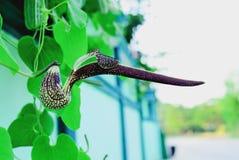 Aristolochia Stock Photography