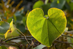 Aristolochiaceae Royalty-vrije Stock Afbeeldingen