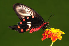Aristolochiae di Pachliopta, farfalla sul fiore Fotografie Stock