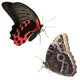 Aristolochiae van de insectenpachliopta van de vlinder Royalty-vrije Stock Afbeeldingen