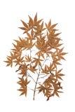 arium χορταριών σφενδάμνου που απομονώνεται στο άσπρο υπόβαθρο Στοκ Εικόνα