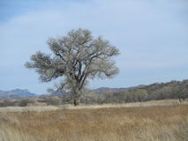 Arivaca Cottonwood Tree Stock Photo