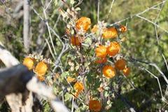 Arizona ökenblomma royaltyfri fotografi
