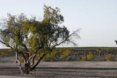 Arizona ökenträd fotografering för bildbyråer