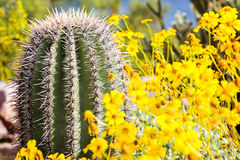 Arizona Barrel Cactus with Wildflowers. Arizona barrel cactus in the desert at springtime with blooming yellow brittlebush flowers royalty free stock photo