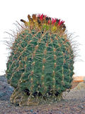 Arizona Barrel Fishhook  Cactus Stock Photo