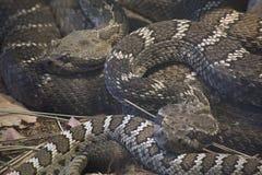 Arizona Black Rattlesnake Royalty Free Stock Photo