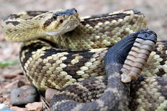 An Arizona Blacktail rattlesnake Stock Photo