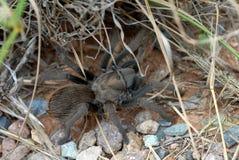 Arizona blondynów tarantula Obraz Stock