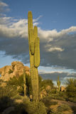 Arizona cactus Stock Photography