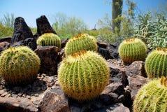 Arizona cactus Royalty Free Stock Images