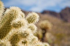 Arizona cactus trees. Arizona desert along the Route 66 Royalty Free Stock Photo