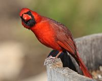 Arizona Cardinal Stretch Stock Photo