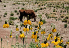 Arizona Cattle Ranch. Yellow flowers in foreground,whiteface cow in background, arizona high desert Stock Photography