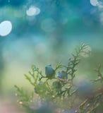 Arizona cypress. Stock Photo