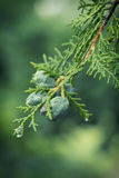 Arizona cypress Royalty Free Stock Image