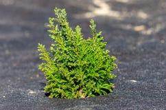 Arizona cyprys zasadzaj?cy na ziemi z trawy siatk? woko?o zdjęcie stock