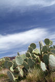 Arizona Desert. Cacti in an Arizona desert Stock Images