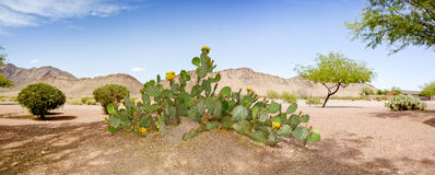 Arizona Desert Backyard. Decorated with Prickly Pear cactus, Mesquite trees and shrubs stock photo