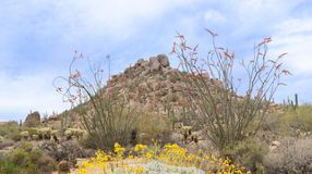 Arizona desert blooming in Spring time Royalty Free Stock Image