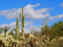Arizona Desert Cacti Landscape Stock Images