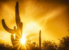Arizona desert cactus tree landscape. With morning sunrise Stock Image