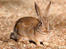 Arizona Desert Cottontail Royalty Free Stock Photos