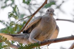 Arizona desert Dove Stock Images