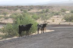 Arizona Desert ~ Hualapai Mountain Park ~ 2013 ~ Dirt Road Wit Bull, Cow, & Calf. Arizona Desert ~ 2013 ~ Off The Main Road Driving Through The Desert Near Royalty Free Stock Photography