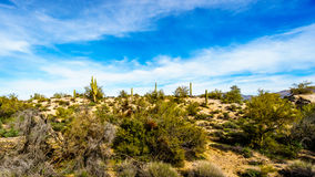 Arizona desert landscape with its many Saguaro and other cacti and distant mountains Stock Image