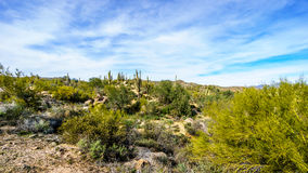 Arizona desert landscape with its many Saguaro and other cacti and distant mountains Stock Photos