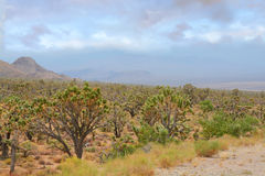 Arizona desert landscape with Joshua trees. Stock Photo