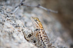 Arizona Desert Lizard Royalty Free Stock Photography
