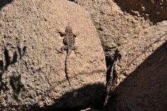 Arizona desert lizard on rocks Stock Photos