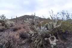 Arizona Desert Plants and Cactus. Arizona desert scene with various vegetation and rocky, mountain background Stock Photos