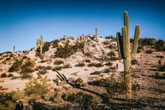 Arizona Desert Saguaro Cactus Royalty Free Stock Photo