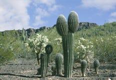 Arizona Desert Sahuaros Royalty Free Stock Image