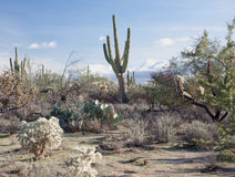 Arizona Desert Sahuaros Royalty Free Stock Photos