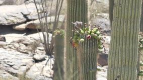 Arizona, desert, two doves drinking nectar from flowers on top of saguaro cactus. Two doves drinking nectar from flowers on top of saguaro cactus stock footage