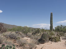 Arizona Desert. Typical landscape of the Sonoran Desert with Saguaro and pricklypear cactus stock photography