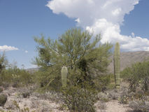 Arizona Desert. Typical landscape of the Sonoran Desert with Saguaro and pricklypear cactus stock images