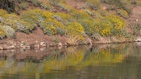Arizona Desert Wildflowers in Spring stock video