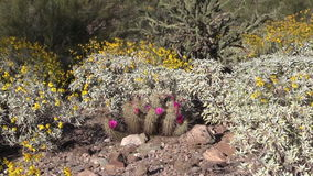 Arizona Desert Wildflowers Zoom in stock video footage