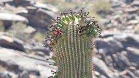 Arizona, desierto, un cierre para arriba de un néctar de consumición de la paloma de las flores encima de un cactus del saguaro
