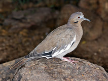 Arizona Dove perched on a Rock Royalty Free Stock Photography